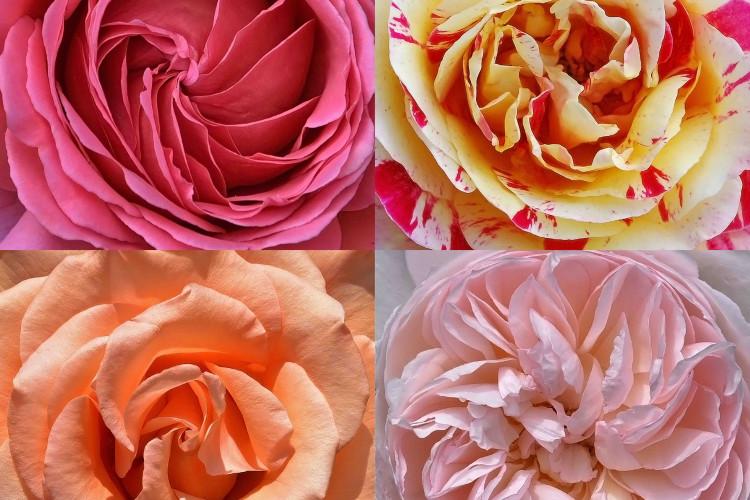 Cœurs de roses